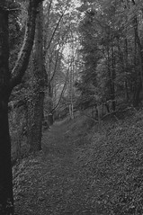 Black forrest? (smcnally24601) Tags: cockshoot wood tree trees morning summer surrey hills headley britain british england english countryside