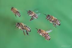 in flight - bees n°1 (Makrotreff) Tags: honigbiene biene bee fly inflight macrophotography makrofotografie makro makrotreff gutekunst im flug