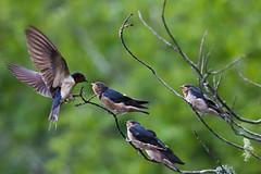 Feeding Time (Glen in Franklin County) Tags: fairystonestatepark bird birds feeding chicks fledgling birdwatching lake pond wildlife behavior feathers wings canon tamron150600 virginia virginiastateparks