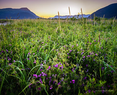 In the grass (Traylor Photography) Tags: alaska lupine landscape wildflowers sunset 20mileriver girdwood mountains colors portage panorama nature light anchorage unitedstates us