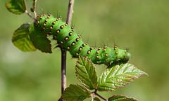 Emperor Moth larva (Saturnia pavonia) (Bob Eade) Tags: emperormoth larva lepidoptera saturniapavonia bramble caterpillar seaford southdownsnationalpark eastsussex summer downland sussex
