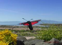 North Shore Burnet Moth4 (g crawford) Tags: crawford ayrshire northarranclydeinsectmothnorth