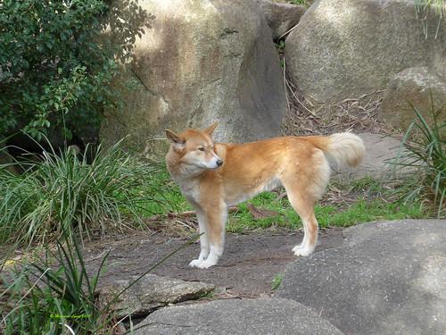 Dingo (2)