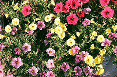 Essex St.-6 (C R Hoetzl) Tags: jerseycity hudsoncounty newjersey essexstjerseycity flowers