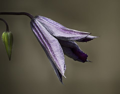 170716_074 Clematite (MiFleur...Thanks for visiting!) Tags: clematis clematite flower purple