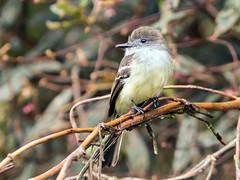 IMG_6704 Pale-edged Flycatcher (suebmtl) Tags: bird birding ecuador napo province myiarchuscephalotes paleedgedflycatcher flycatcher sanisidro