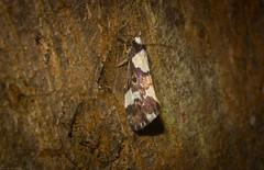 Philenora elegans (dustaway) Tags: arthropoda insecta lepidoptera arctiidae lithosiinae philenora philenoraelegans australianmoths australianinsects lismorerainforestbotanicgardens lismore northernrivers nsw nature australia australianwildlife