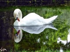 wenn man so schön ist, dann darf man sich auch bewundern (mama knipst!) Tags: schwan swan wasservogel waterbird vogel bird natur sommer