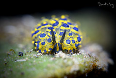 Stiliger ornatus (Randi Ang) Tags: stiligerornatus stiliger ornatus nudi nudibranch seaslug tulamben bali indonesia underwater scuba diving dive photography macro randi ang canon eos 6d 100mm randiang