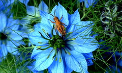 GRASSHOPPER in the MIST of BLUES (Lani Elliott) Tags: nature naturephotography lanielliott flower flowers loveinamist nigella blue insect grasshopper bokeh macro upclose close closeup garden homegarden macrounlimited gorgeous brilliant wow