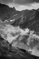 Alpine chamois (Andrea Zampatti_Wildlife Photographer) Tags: alpine chamois camoscio alpi montagna valsavarenche val daosta aosta gran paradiso temporale bw bianconero andrea zampatti wildlife photography