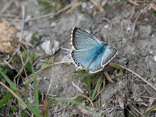 Chalk Hill Blue (male) - Polyommatus coridon
