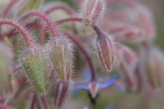 20170702_Jardins_Secrets_Vaulx_Fl (17 sur 20) (calace74) Tags: rhonealpes fleur france insectes jardin jardinssecrets macro vaulx