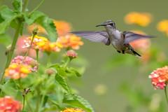 Hummingbird And Lantana Bush (Bill Varney) Tags: hummingbird flower bird bif fly flying shrub bush outdoor wildlife billvarney canon