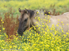 yellow flowers and konick at oostvaardersplassen