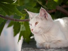 Street cat 200 (Igor A.T.) Tags: cat cats кот кошка котка kedi chat feline kat katze katzen kot kotka pet felino kottur katte kass kitty gato kocka gatta katzchen olympuse520 whitecat weisekätzchen whitekitten streetcat olympus