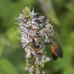 Sphex pruinosus female (Aggathopos) Tags: wasp fytema ikaria greece spearmint insect macro ichneumon δυόσμοσ ικαρία