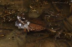 Litoria sp. (Jordan Mulder) Tags: litoria paraewingi ewingi brown tree frog wildlife reptile