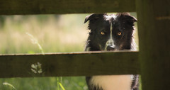 """The other side is best"" (JJFET) Tags: other side fence border collie paddy sheepdog littledoglaughedstories colloie dog"