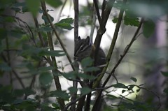 Chipmunk Eating (Total Leo) Tags: chipmunk eating nikon nikond7000 d7000 wildlife animals animal cute into woods