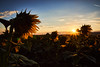Morning glory (grundi1) Tags: sony alpha 68 ilca sonnenblumen sonnenaufgang bad erlach sunflowers sunrise sigma1770f2845dcmacro verlaufsfilter flower blume nature vanagram blau blue orange sigma 1770 f2845
