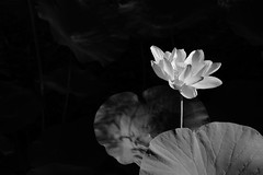 Lotus (tsu55) Tags: lotus lotusflower 蓮 flower