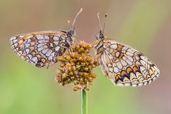 Melitaea athalia (Prajzner) Tags: melitaea athalia heathfritillary melitaeaathalia sigma105mmmacro nikond7100 novoflexcastelxqii macro manfrottomt190xpro3 nikon subcarpathia nature butterfly lepidoptera