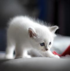 tri2-1 (Uniquva) Tags: sacredbirman kittens cat