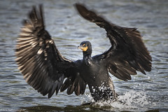 Double Crested Cormorant Landing (wfgphoto) Tags: doublecrestedcormorant landing wingspread water angles splash bird