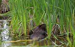 Beaver of the Bottomless Lake (TheNovaScotian1991) Tags: beaver fundynationalpark newbrunswick canada atlanticcanada animal reeds bullrush water nikond3200 afsdxnikkor55200mmf456gedvrii