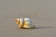 Common whelk (Buccinum undatum), Botany Bay (DESPITE STRAIGHT LINES) Tags: kent england bay beach botanybay botanybaybeach botanybaybroadstairsbotanybaykent botanybayengland thenorthsea northsea sea seaside shore shoreline tide tidal sand sandy sandyshoreline nikon d800 nikond800 paulwilliams despitestraightlines flickr day clear nikon70200mm nikkor70200mm thesevenbaysofbroadstairs sevenbaysofbroadstairs rock rocks coast coastline coastal lowtide commonwhelk whelk commonwhelkbuccinumundatum buccinumundatum gastropod buccinidae shell getty gettyimages gettyimagesesp despitestraightlinesatgettyimages paulwilliamsatgettyimages