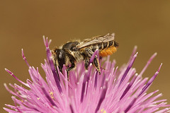 Megachile species (henk.wallays) Tags: