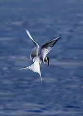 Arctic Tern - An act of elegance (Jaedde & Sis) Tags: havterne tern terna flight flying elegance challengeyouwinner friendlychallenges gamewinner gamex2 arctictern sternaparadisaea gjógv faroeislands storybookwinner