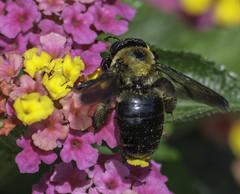 Bee_SAF8708 (sara97) Tags: bee flower floweringplant insect missouri nature outdoors photobysaraannefinke pollinator saintlouis towergrovepark towergrovepark2017 urbanpark