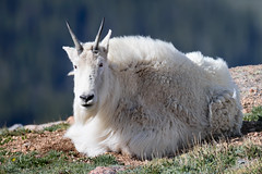Goats of Mount Evans 6 (Theodore A. Stark) Tags: ifttt 500px 2016 idaho springs nature animals summer canon usa wildlife wind colorado co stark outdoors mount evans june tstarkcom ted theodore a clear creek county rocky mountain goat 7d mark ii
