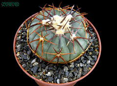 Echinocactus horizonthalonius v. complatus (Nyxtofulakas) Tags: echinocactus horizonthalonius v complatus cactus spines succulent plant nature mexico