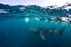 Nature's Prime (icemanphotos) Tags: whaleshark underwater wildlife blue sea relax snorkeling