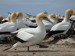 Stepping out (Karen Pincott) Tags: gannets gannetcolony hawkesbay newzealand colony birds seabirds nesting spring