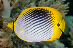 Spot-tail Butterflyfish - Chaetodon ocellicaudus (zsispeo) Tags: chaetodonlinnaeus1758 chaetodontidae teleostei ocellicaudus scuba diving tropical reef fish underwater macro macrophotography sea ocean holidays vacation summer beach relaxation d800e coral fauna wildlife wild geotagged science taxonomy travel sustainable life aquatic beautiful nature animal biology id identification souvenir living favorite natural padi rare saltwater turquoise blue conservancy quality escapade tourism wet outdoors butterflyfish philippines bohol