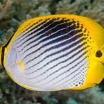 Spot-tail Butterflyfish - Chaetodon ocellicaudus thumbnail