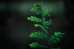 A random plant! (gauthampilla) Tags: nikon 700d canon beautiful india lightroom green new beauty nature plant