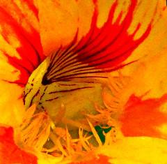 Nasturtium (ronramstew) Tags: nasturtium flower pattern macro garden birchmoor stmichaels liverpool mersey merseyside
