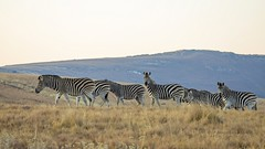 9J5A3580 Burchell's zebra / Steppensebra, South Africa (Priscilla van Andel) Tags: burchellszebra steppensebra southafrica africasmammals zebras