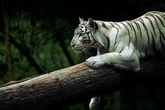 Tigre blanc (benjipigne) Tags: tigre tigreblanc félin zoo cerza nature arbre forêt