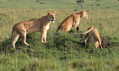 """""""Getting Ready for Our Open Pit Barbecue"""" (The Spirit of the World) Tags: lioness lionesses pride cats bigcats felines scene themara masaimara kenya eastafrica africa animals wildlife nature safari gamedrive gamereserve nationalpark raresighting"""