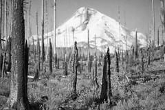 the olde burn (Ben McLeod) Tags: blackandwhite cloudcap cloudcapinn mthood oregon tillyjane tillyjanefire fire forest forestfire trees wetplate