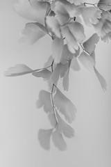 Leaves (Welsh Photographer) Tags: pentax k3ii sigma ex 105mm leaves flora mono monochrome blackandwhite art fineart