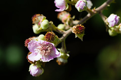 In the hedgerow (flowjo9999) Tags: insects macroflowers