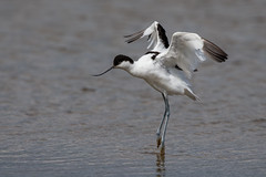 Avocet (Simon Stobart) Tags: avocet recurvirostra avosetta water stretching wings out northeast england