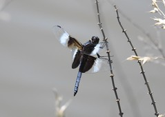 Widow Skimmer (GoldenEagle754) Tags: discoveryboulevardpond manassas princewilliamcounty nova northernvirginia virginia stem perched water pond invertebrate insect dragonfly ode odonata blue black wings head eyes animal wildlife outdoors outside nature creature